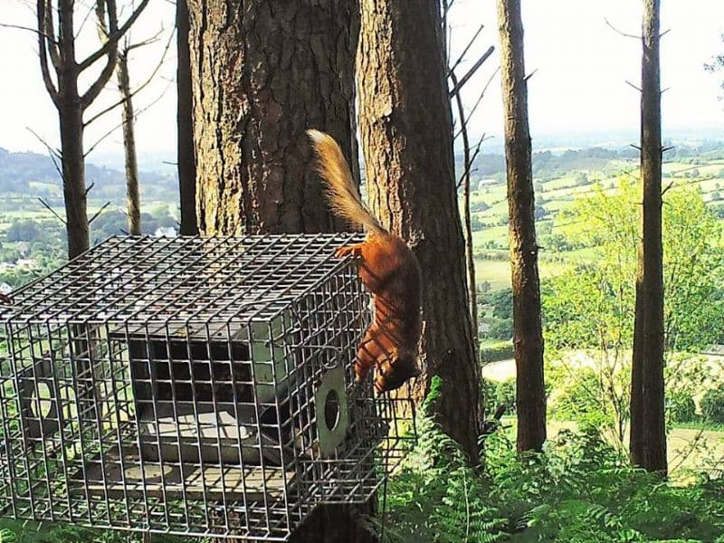 On the Look Out for Red Squirrels in Slieve Gullion