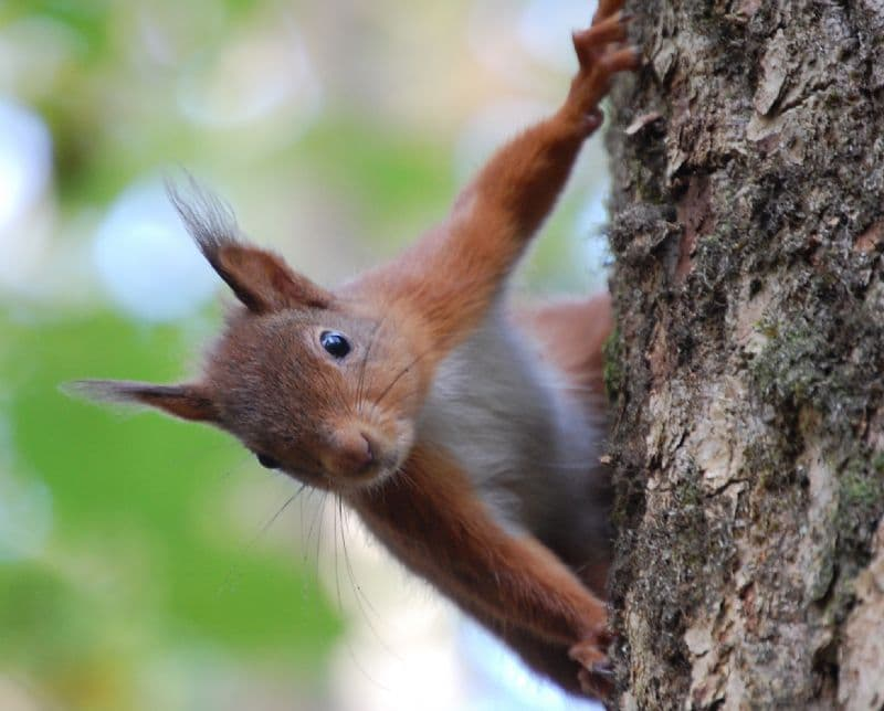 Slow down: give our red squirrels a 'brake'