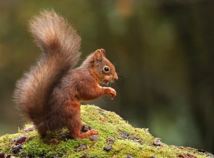 Red Squirrel Fun and Games at Slieve Gullion